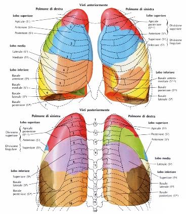 Segmenti polmonari